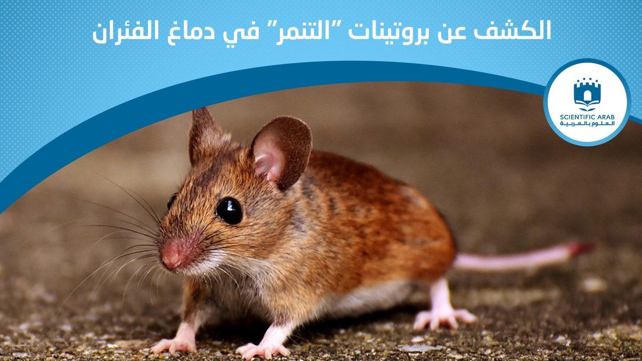 فأر, أخبار علمية