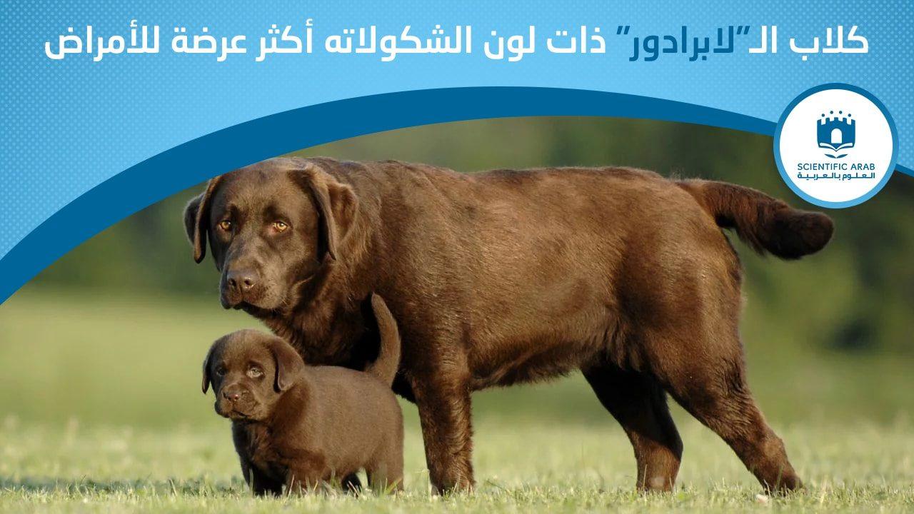 كلاب لابرادور, أخبار علمية