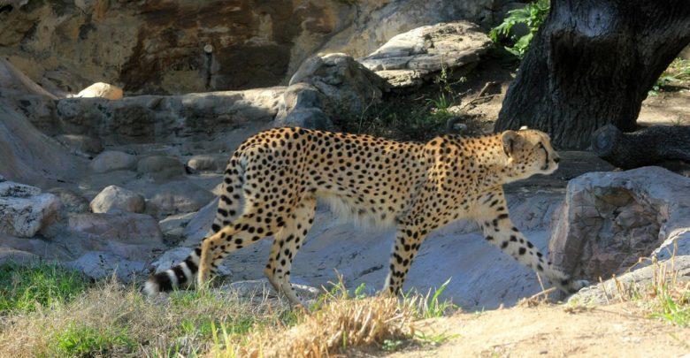 الفهد الصحراوي, حيوانات, حيوانات مهددة بالانقراض, مصر, الحياة البرية