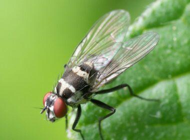 حشرت, ذباب, دراسات علمية