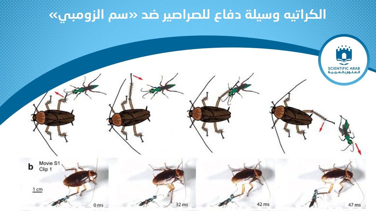 صراصير, أخبار العلوم, كبسولة, بيولوجي, حشرات, بيض