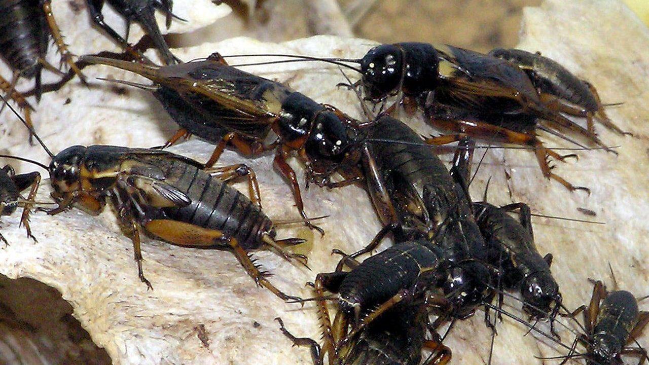 صراصير, Gryllus bimaculatus, عيد الحب, فالانتاين, علوم