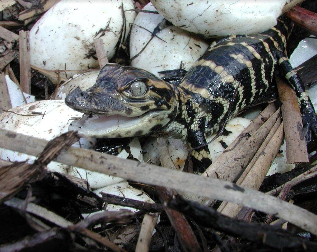 عيد الأم, تمساح