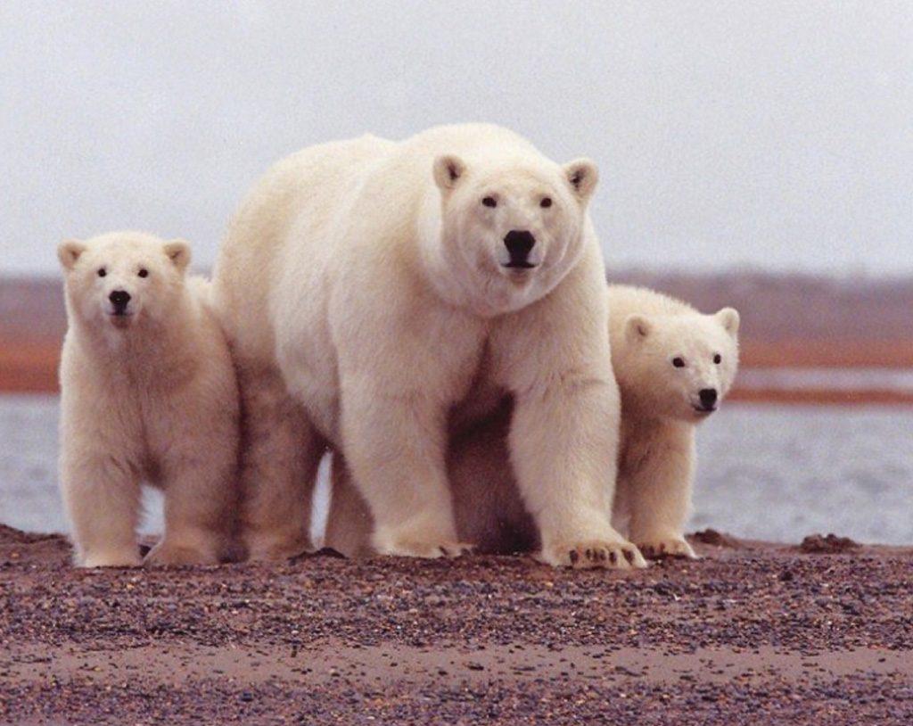 عيد الأم, دب قطبي