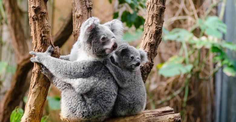 عيد الأم, كوالا, حيوانات, برية, أمهات