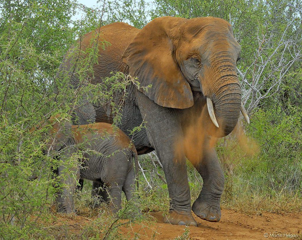 عيد الأم, فيلة