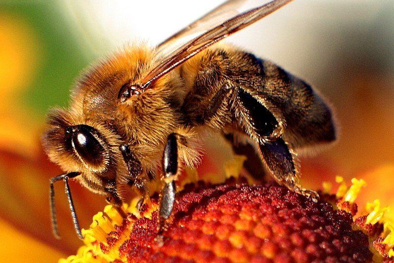 مملكة نحل العسل - التوالد البكري - تكاثر لاجنسي